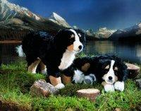 Kösener-Berner Sennenhund stehend