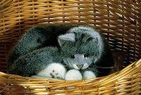Kösener-Katze Lucie grau