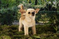 Kösener-Chihuahua