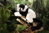 Kösener-Lemur schwarz-weiß