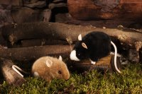 Kösener Maus, schwarz/weiß