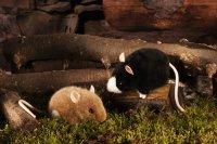 Kösener-Maus, braun/weiß