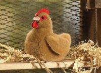 Kösener-Huhn, klein rotbraun