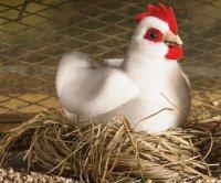 Kösener-Huhn, klein weiß