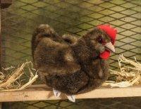 Kösener-Huhn, klein braun