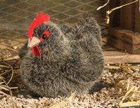 Kösener-Huhn, klein grau