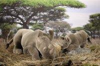 Kösener-Nashorn, mittel, liegend