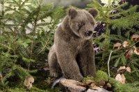 Kösener-Braunbär